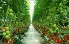Сорт томата: Игидо f1