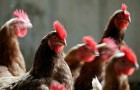 Инфекционные заболевания кур – «Синдром снижения яйценоскости-76»