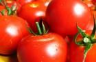 Сорт томата: Искушение f1