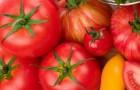 Сорт томата: Исток