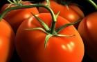 Сорт томата: Изар f1