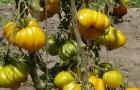 Сорт томата: Изида