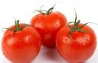 Сорт томата: Измаил f1