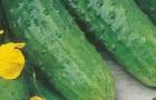 Сорт огурца: Изобильный f1