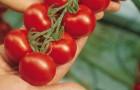 Сорт томата: Кампари f1