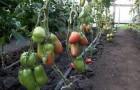 Сорт томата: Капия