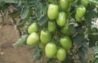 Сорт томата: Каскад