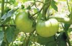 Сорт томата: Каспиец