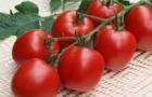 Сорт томата: Кинешма f1