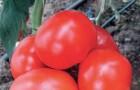 Сорт томата: Кларабелла f1