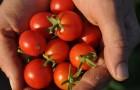 Сорт томата: Колорадо