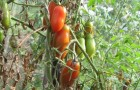 Сорт томата: Красавчик f1
