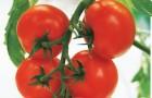Сорт томата: Кристалл f1
