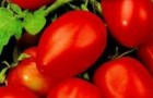 Сорт томата: Лариса f1