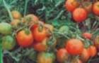 Сорт томата: Ленинградский холодок