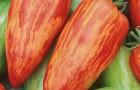 Сорт томата: Лучистый