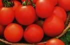 Сорт томата: Любань