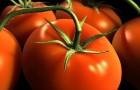 Сорт томата: Любитель