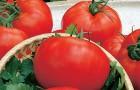 Сорт томата: Магистр f1