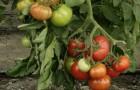 Сорт томата: Магнит f1