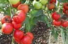 Сорт томата: Магнус f1