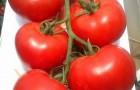 Сорт томата: Махитос f1