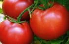 Сорт томата: Малика f1