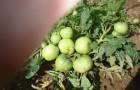 Сорт томата: Малинка