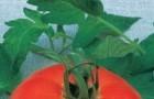 Сорт томата: Мани f1