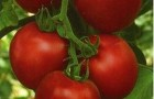 Сорт томата: Манон f1