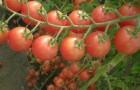 Сорт томата: Маришка f1