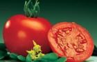 Сорт томата: Маунтин спринг f1
