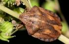 Маврская черепашка