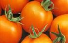 Сорт томата: Медовая гроздь