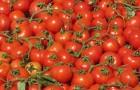 Сорт томата: Мопс f1