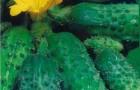 Сорт огурца: Муравей f1