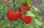 Сорт томата: Мурза f1
