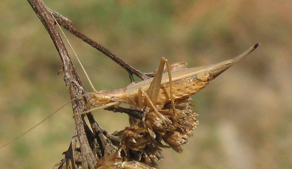 Обыкновенный стеблевой сверчок