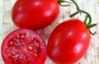 Сорт томата: Одиль f1
