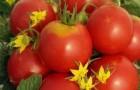 Сорт томата: Огни москвы