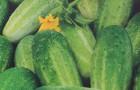 Сорт огурца: Охтинский f1