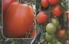 Сорт томата: Орфей f1