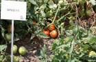 Сорт томата: Орко f1