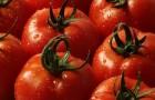 Сорт томата: Отранто f1