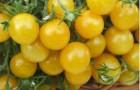 Сорт томата: Ожерелье желтое