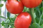 Сорт томата: Паладин f1