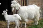 Паразитарные заболевания коз – Эхинококкоз