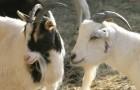 Паразитарные заболевания коз – Линогнаптоз (вшивость)