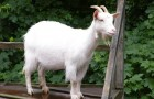 Паразитарные заболевания коз – Мониазиоз