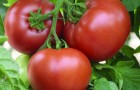Сорт томата: Партнер семко f1